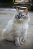 Portrait of pedigreed cat Stock Photography
