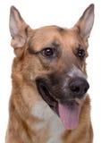 Portrait of pedigreed shepherd Stock Photos