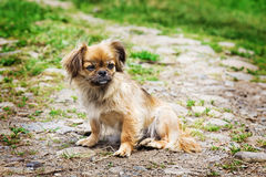 Portrait Of Pekingese Dog On A Grass Stock Images
