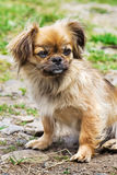 Portrait Of Pekingese Dog On A Grass Royalty Free Stock Photos