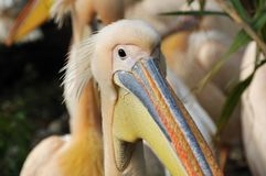 Portrait of a pelican Stock Image