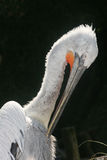 Portrait of pelican Stock Photography