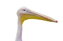 Portrait of  pelican Stock Image