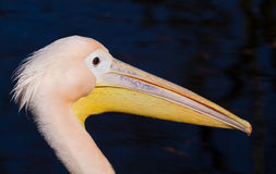 Portrait of a pelican Royalty Free Stock Photography