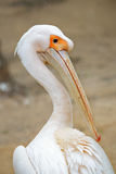 Portrait of a pelican from behind Royalty Free Stock Images