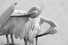 Portrait of pelican birds , Kolkata, West Bengal, India Royalty Free Stock Photography