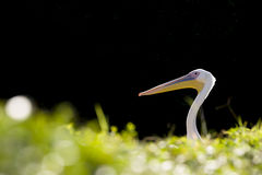 Portrait of a pelican. Stock Photography