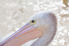 Portrait of a Pelican on blurred water background Royalty Free Stock Photography