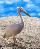 Portrait of pelican close Royalty Free Stock Photos