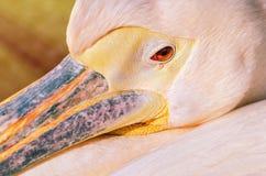Portrait of Pelican Stock Photos