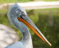 Portrait of a pelican Royalty Free Stock Image