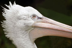 Portrait of pelican Royalty Free Stock Photos