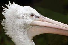 Portrait of pelican Royalty Free Stock Photos