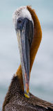 Portrait of a pelican. Seabirds. The Galapagos Islands. Ecuador. Stock Photography