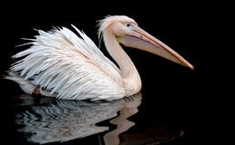 A portrait of a pelican swimming set against a black background, wth a reflection on the rippling water underneath. royalty free stock images