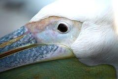 Portrait of a Pelican Stock Photos