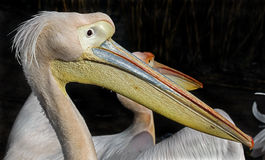 Portrait of pelican Royalty Free Stock Photo