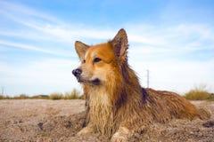 Portrait pelucheux de corgi Photo libre de droits