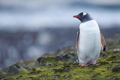 Portrait of a penguin Stock Images