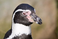 Portrait of a Penguin in a Dutch zoo Stock Image