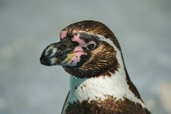 Portrait of a penguin on uniform blurred background royalty free stock image