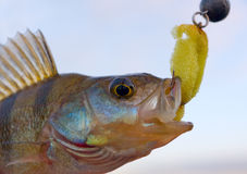 Portrait of perch Stock Photos