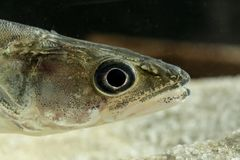 Portrait of Perch freshwater fish Stizostedion lucioperca. Portrait of Perch freshwater gamefish Stizostedion lucioperca in the aquarium royalty free stock image