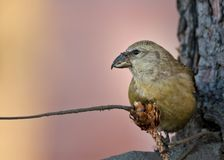 Portrait of perched female red crossbill royalty free stock image