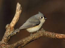 Portrait of perched tufted titmouse stock image