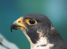 Portrait of A Peregrine Falcon. With blurred blue background stock photo