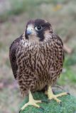 Portrait of Peregrine Falcon Falco peregrinus aka Duck Hawk th. The peregrine falcon . Falco peregrinus, also known as the peregrine, and historically as the Stock Image
