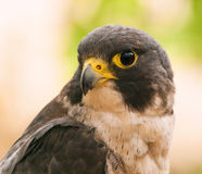 Portrait of peregrine falcon Stock Images