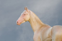 Portrait of perlino Akhal-Teke stallion in field Stock Images