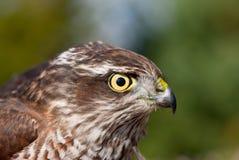 Portrait of Pernis apivorus. Bird from falcon group Stock Photos