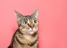Portrait of a perplexed tabby cat royalty free stock photo