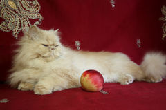 Portrait of Persian adult cat with a peach stock images