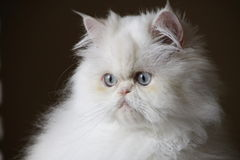 Portrait of Persian cat Royalty Free Stock Photos