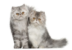 Portrait of Persian cat Stock Photo