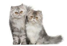 Portrait of Persian cat stock photo
