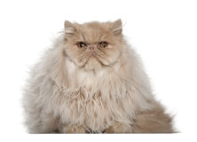 Portrait of Persian cat, 5 months old, sitting Stock Images
