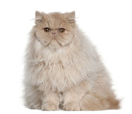 Portrait of Persian cat, 5 months old, sitting Royalty Free Stock Photos