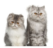 Portrait of Persian cat, 7 months old royalty free stock image