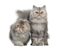 Portrait of Persian cat, 7 months old Royalty Free Stock Photos