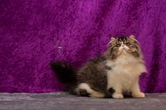 Exotic cat Royalty Free Stock Photo