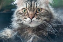 Portrait of Persian cat with unkempt long gray hair. Cute and funny, bright yellow eyes looking at camera. Closeup. Soft focus stock photography