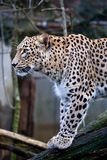 Portrait Persian leopard, Panthera pardus saxicolor sitting on a branch Stock Photography