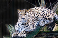 Portrait Persian leopard, Panthera pardus saxicolor sitting on a branch Stock Image