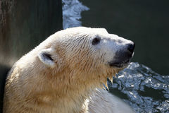 A portrait of a person in the water the polar bear Stock Image