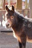 Portrait of pet donkey closeup stock image