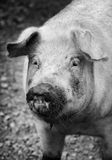 Portrait of a pet pig on a farm Royalty Free Stock Photos